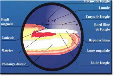 Anatomie de l'ongle